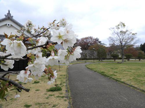 白河小峰城(日本100名城) 10 二の丸茶屋の桜から内堀跡
